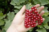 Currants, Redcurrant 'Susette'
