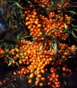 Sea Buckthorn, Askola (female)