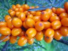 Sea Buckthorn , Seaberry - Goldrain