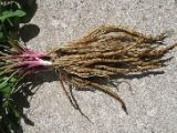 Sium sisarum - 1 yr plant , Skirret Plant