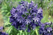 Northern Star , Agapanthus Deciduous