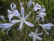 Blue Moon , Agapanthus Evergreen