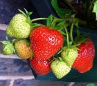 Strawberry, 'The Colourful' Collection (6 plants)