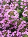 Creeping Thyme Collection (5 plants)