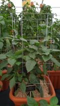 Support cage for Tomatoes, Peppers or similar - Pack of 3